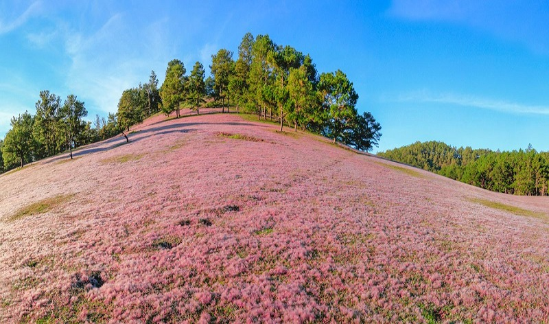 đồi cỏ hồng đẹp