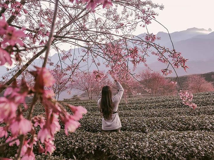 hoa mai anh đào nở rộ