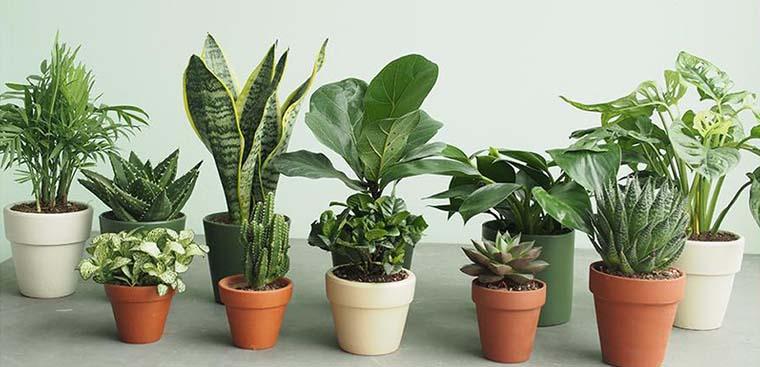 Mách bạn những loại cây cảnh thanh lọc không khí trong nhà