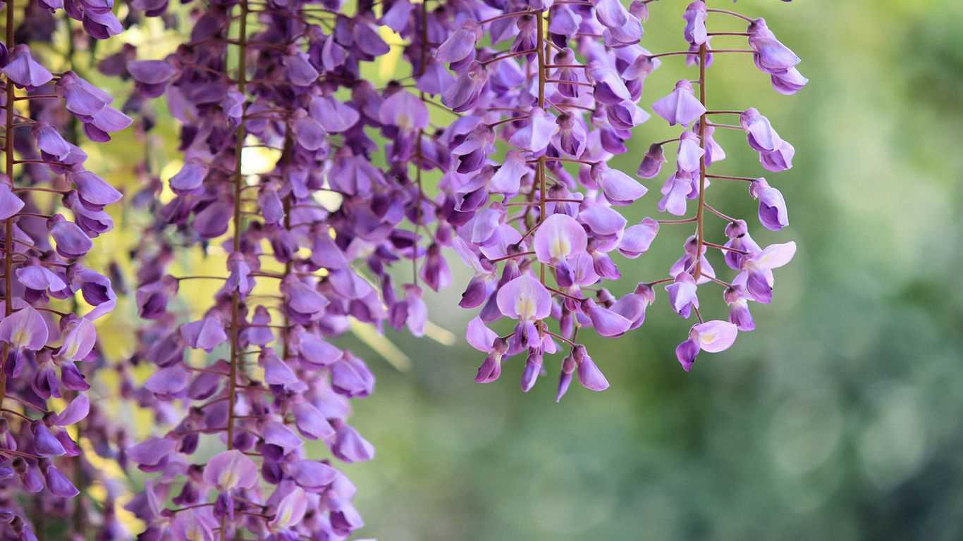 Cây hoa tử đằng và những thông tin bổ ích cho những ai yêu cây