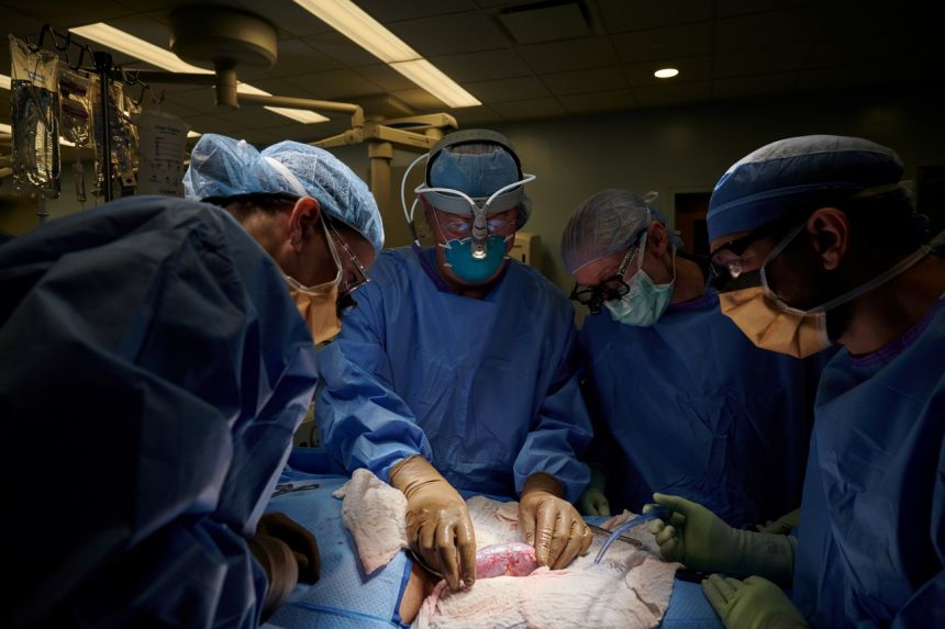 Mỹ thành công ghép thận heo cho người, mở ra cơ hội mới cho người bệnh
